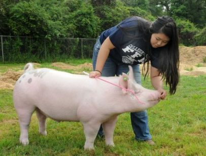 College Park High School FFA member Sarah Forehand gives her hog a treat after exercising her hog at The Woodlands FFA Barn. Photograph by David Hopper